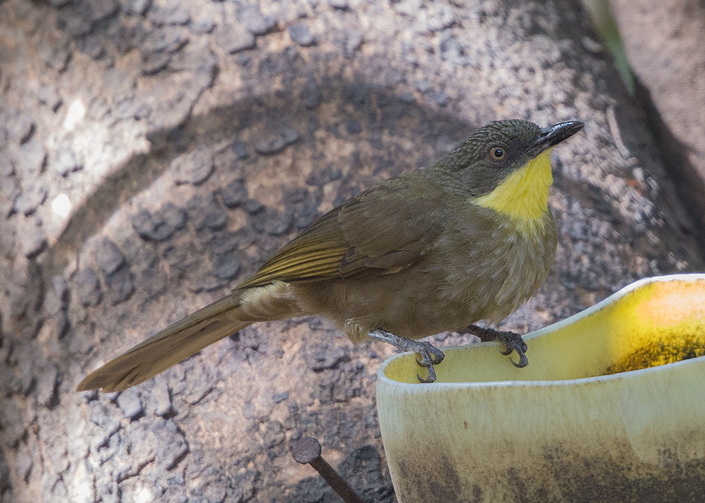 Yellow-fronted Leaflove   Gambia