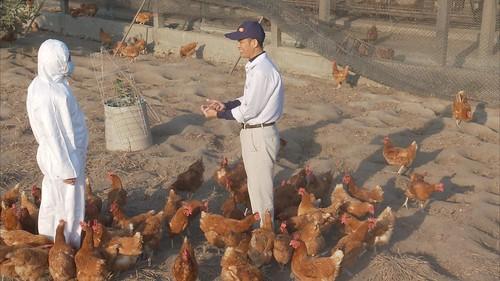 自由放牧不使用密閉雞舍避免傳染。