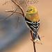Gold Finch by ccphototx.com