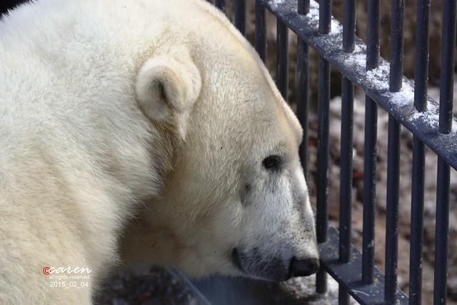 Eisbär Giovanna 2015_02_04 029