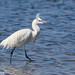 White morph Reddish Egret, Egretta rufescens by ashleytisme