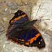 Doxocopa elis - Orange-banded Emperor by hippobosca