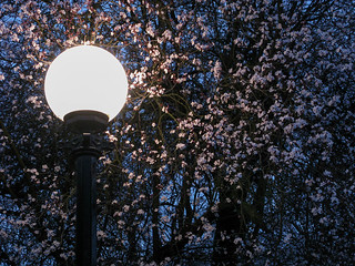 Cherry Blossoms and Lamplight at Dusk