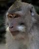 monkey series- portrait