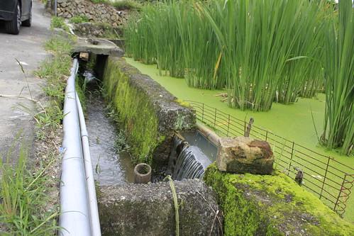 台灣白魚的埔里棲地:筊白筍田(圖片攝影:羅聿)