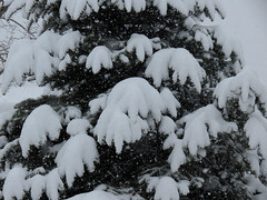 snow on the pine