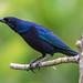 Molothrus bonariensis male (Shiny Cowbird / Chamón) by PriscillaBurcher