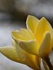Yellow Baby Twin Plumerias_DSC07867
