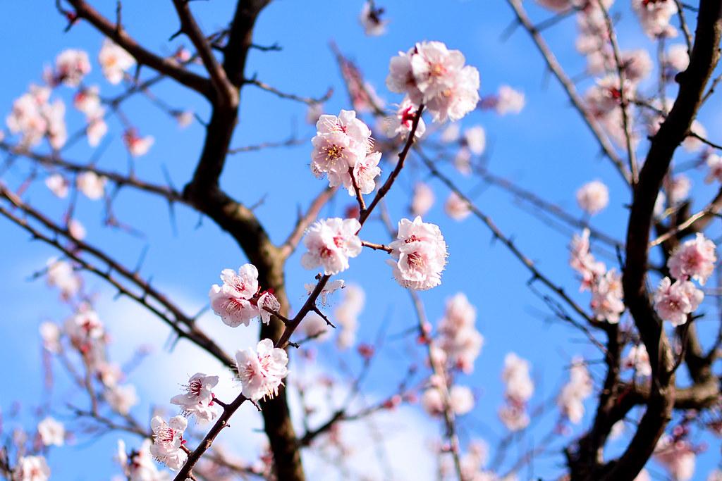 Japanese Apricot (Plum Blossom) / 梅