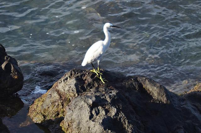 Egret, Tenerife