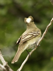 White-Crested Elaenia