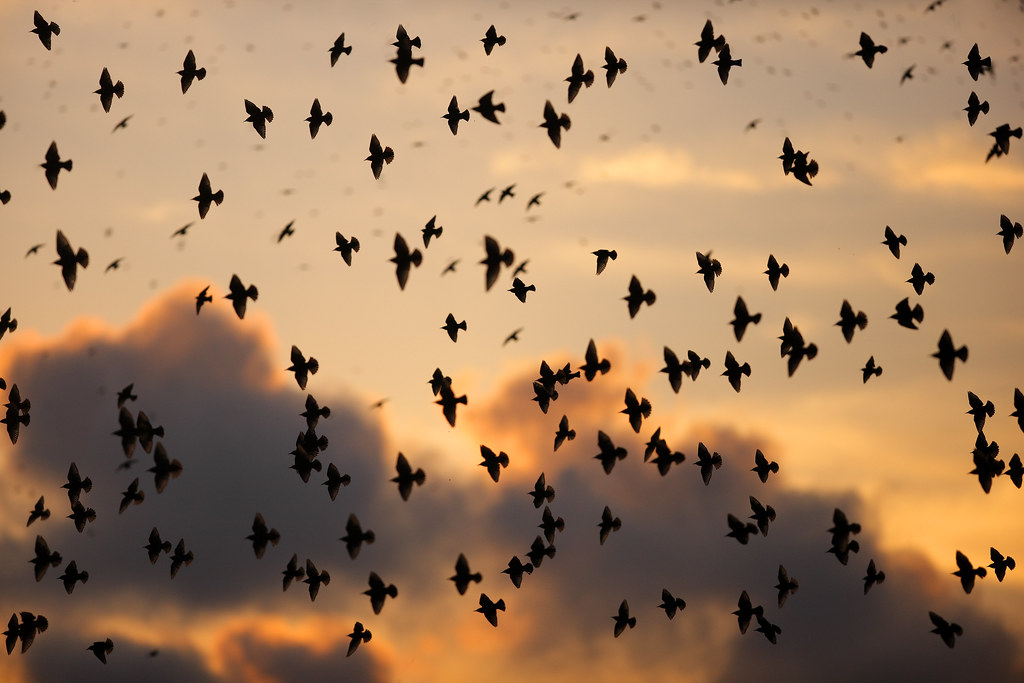 Murmuration against evening sky