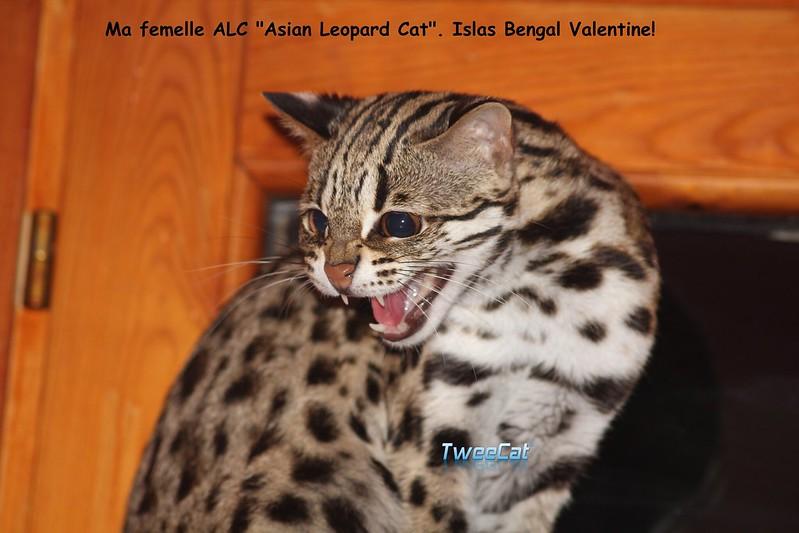 Ma fabuleuse Valentine, une femelle ALC pour des magnifique chatons ALC et hybride