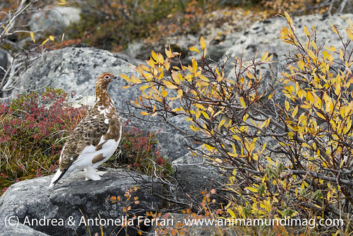 reefwondersdotnet posted a photo:	Rock Ptarmigan Lagopus muta in fall plumage, the arctic tundra of Nunavik province in Northern Quebec, Canada