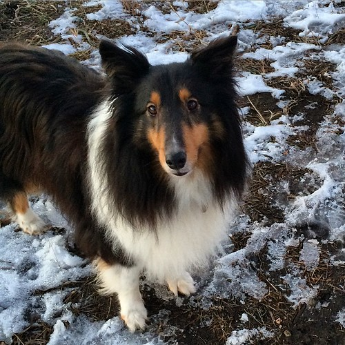 Hiking Whitetail Woods Park with Jasper. I think he likes it. 😊 #Sheltie