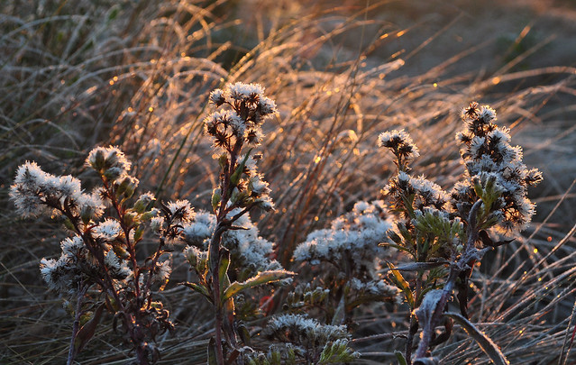 Frosted Solidago