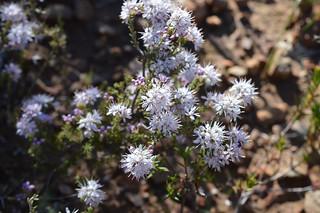 Agathosma capensis アガトスマ カペンシス