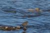 American Dipper eating salmon eggs