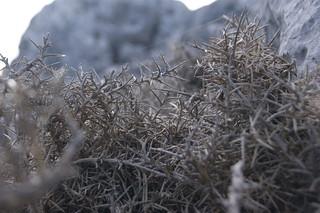 Thorns (Sierra de Grazalema)