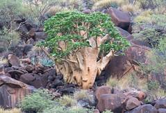 Cyphostemma currorii (Vitaceae)