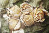 Dried flowers of roses