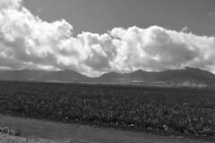 Oahu - Dole Plantation pineapple plantation