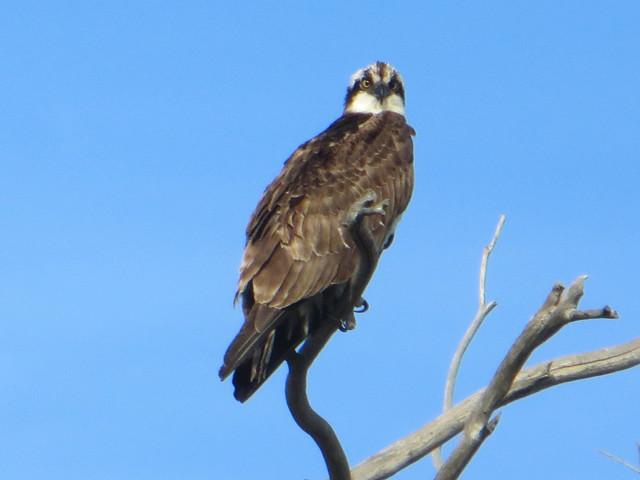 osprey in Malibu