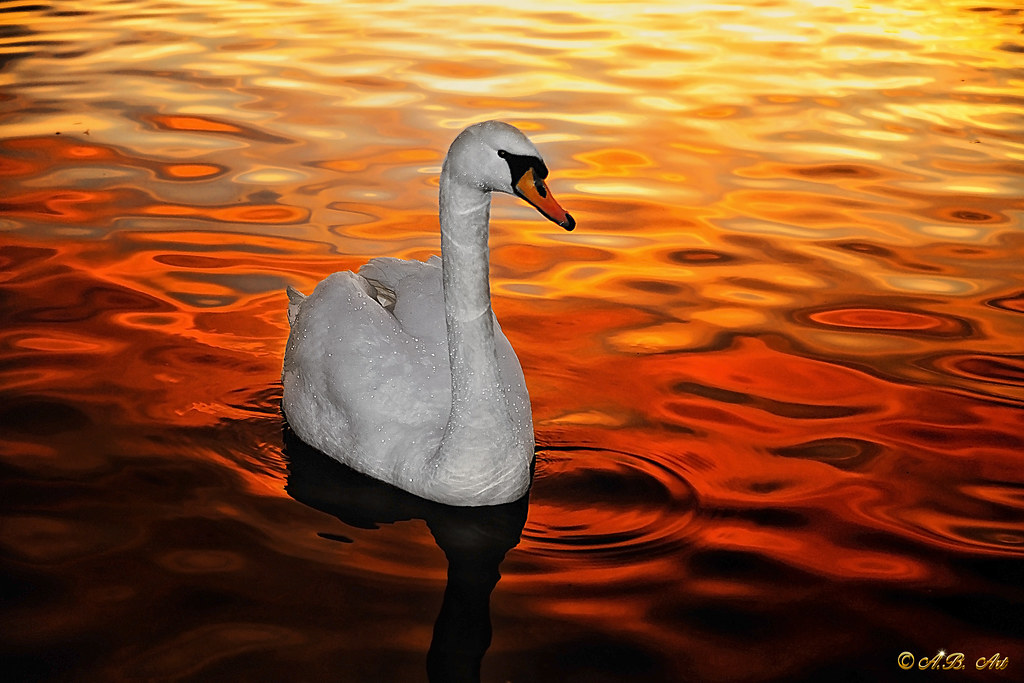 Swan at sunset
