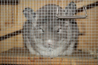 Mouse Resting in Her Cage