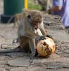 Monkey vs Coconut