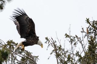 Eagle Spotting - XLIII