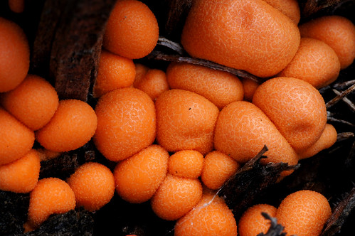 Orange slime mould.