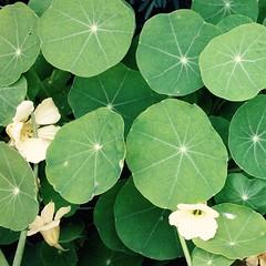 Nasturtium #garden