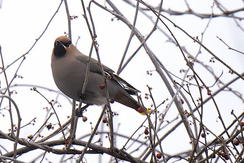 Sandy Hook, NJ: Bohemian Waxwing