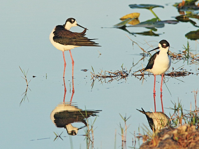 Black-necked Stilts 06-20150315