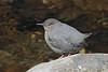 American Dipper (Cinclus mexicanus)