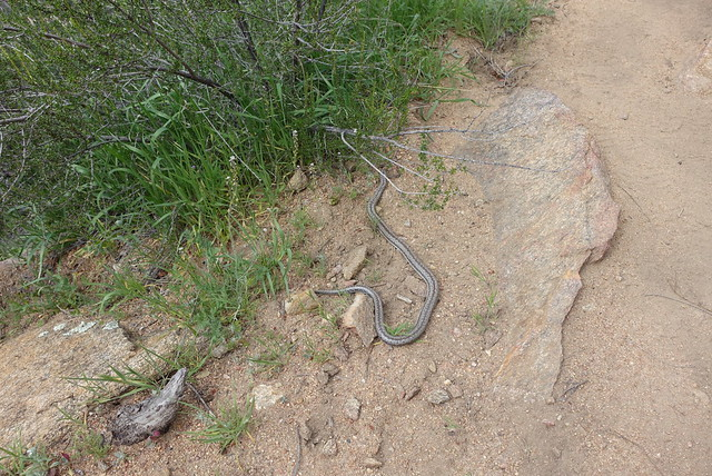 PCT Day 2.  Snake.  Unknown species.