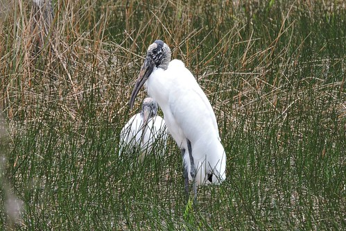 Wood Stork #34 (threatened)
