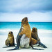 Galápagos Sea Lions by Wild Birdy