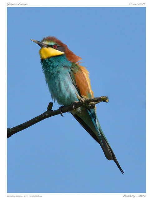 Guêpiers d'europe   European Bee-eater   Merops apiaster