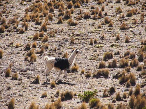 Le Sud Lipez: des lamas