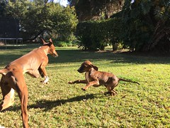 Puppy Tahount playing chase with aunty Taz.
