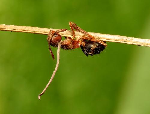 Ant killed by Ophiocordyceps fungus