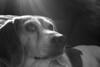 Halo Beagle