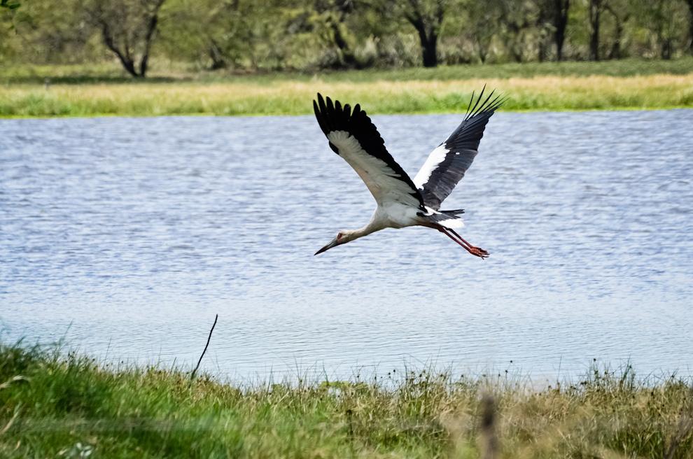 La cigüeña americana es otra de las aves que habitan en las aguas del complejo Launa Capitán, un lugar que no decepciona cuando se trata de ver diferentes especies y en gran cantidad. (Elton Núñez)