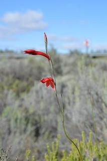 Gladiolus quadrangularis グラジオラス クアドゥラングラリス