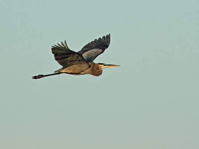 Great Blue Heron in flight 20141210