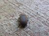 Tenebrionidae>Gonocephalum smplex? Darkling Beetle DSCF5331