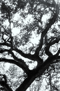 An oak growing in Memorial Park in Houston | by AtchisonGallery
