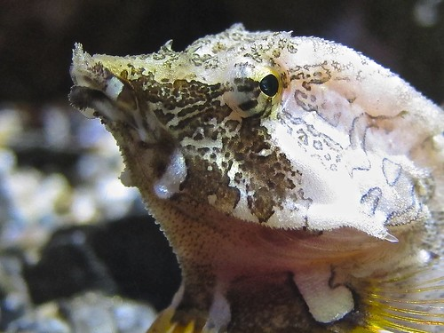 Grunt Sculpin | by Ron's Aquarium Photos
